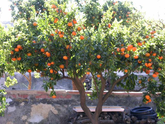 Mandarino en jardín